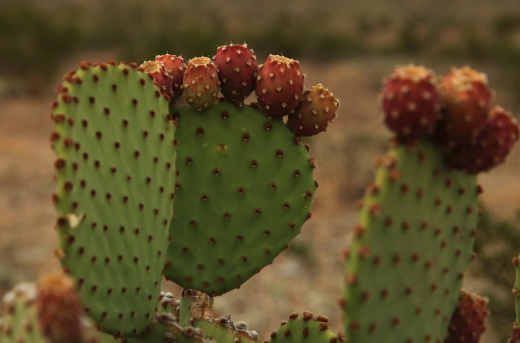 bb_kaktuskukka