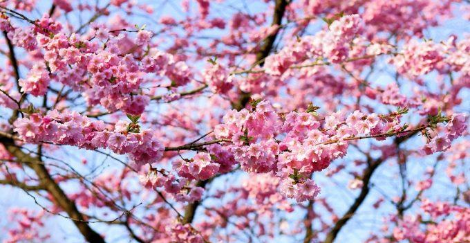 Kirsikkapuut ovat keväisin täydessä kukassa Japanissa