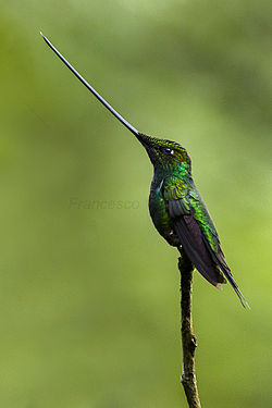 Sword-billed_Hummingbird_-_Ecuador_S4E4619