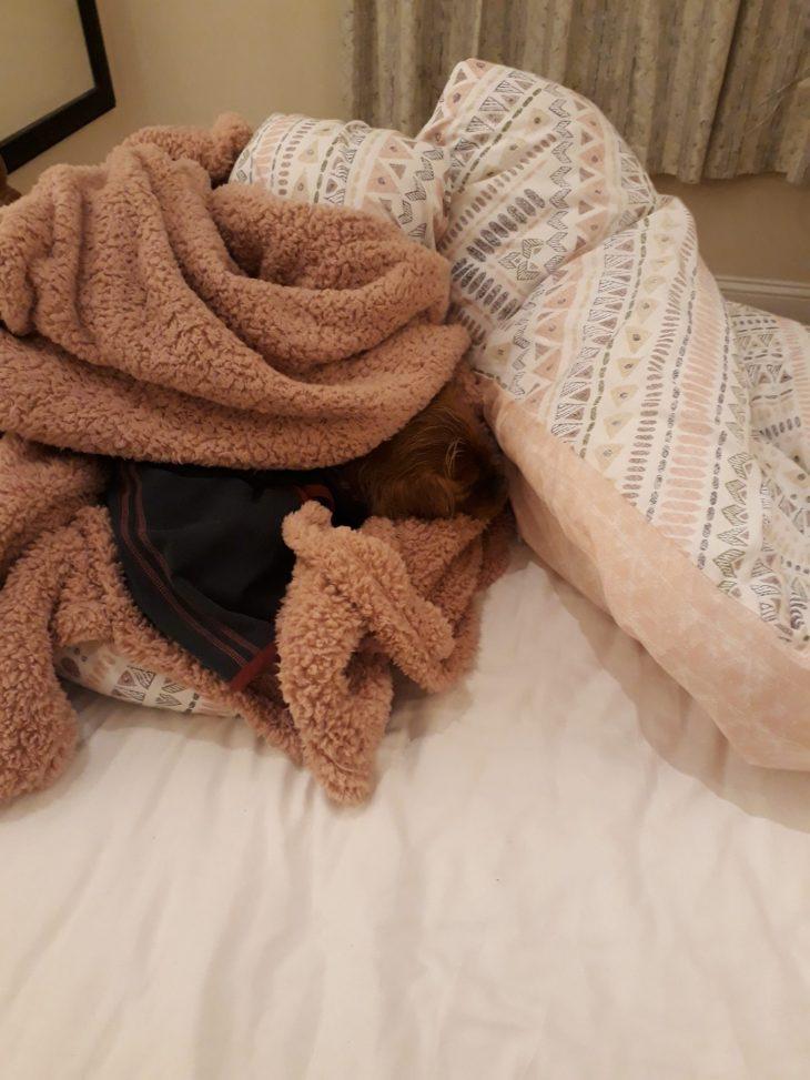 Koira kääriytyneenä peittojen sisään