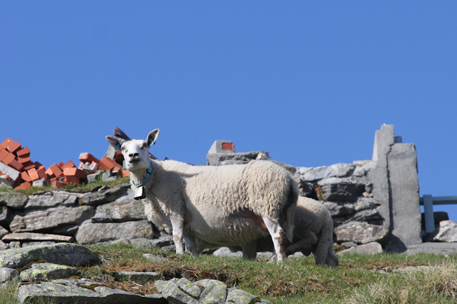 Norwegian sheep I Destination Unknown I @SatuVW