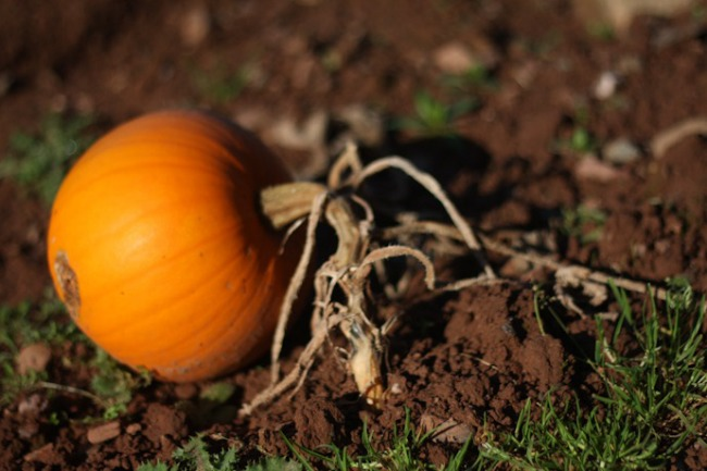 10-Pumpkin-on-the-field I @SatuVW I Destination Unknown