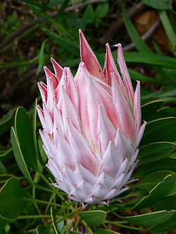 Kuningasprotea on näyttävä tuliainen Madeiralta. kuva Wikipedia.fi