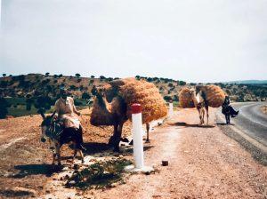 Kamelit töissä matkalla vuoristossa Marokossa
