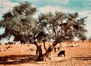 NähtävääMarokossa: Vuohet kiipeilevät argana-puissa
