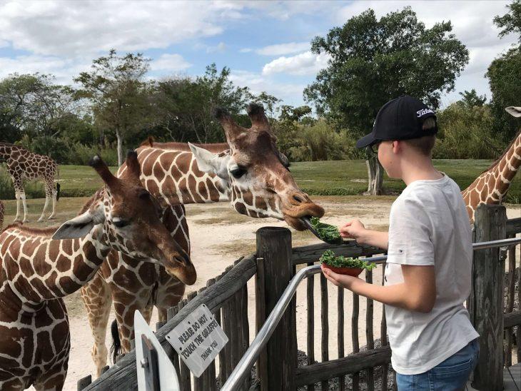 Kesyt kirahvit Miami Zoo elaintarha, Florida
