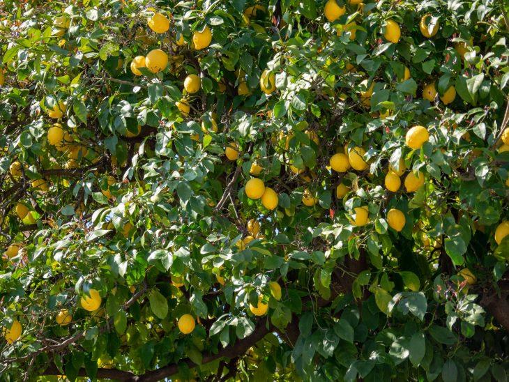 Sitruunapuu ja tuoreita hedelmiä, Ranskan Riviera nähtävää