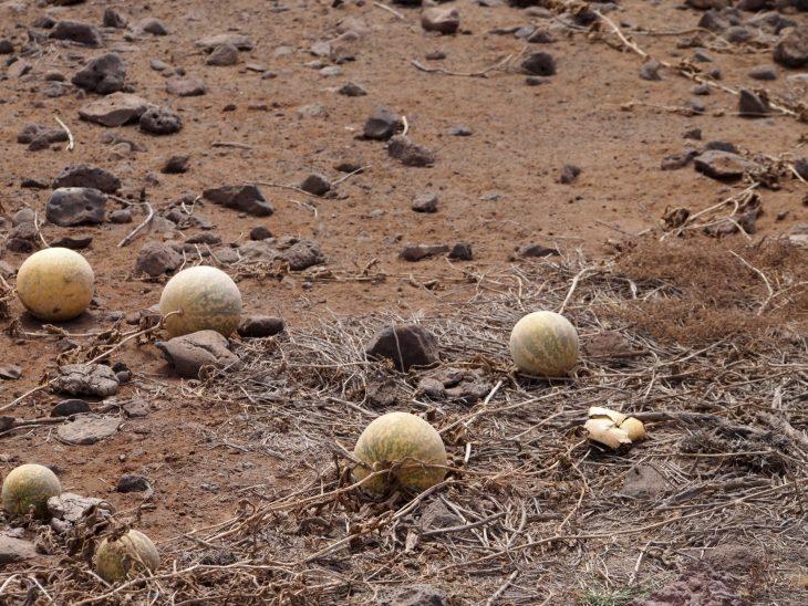 Kap Verde, vesimeloniviljelmiä