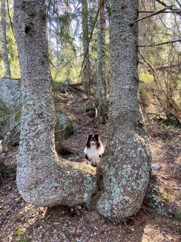 Västerö vaellusreitti Merenkurkun saaristo, koira mukana, upeita vanjoja puita