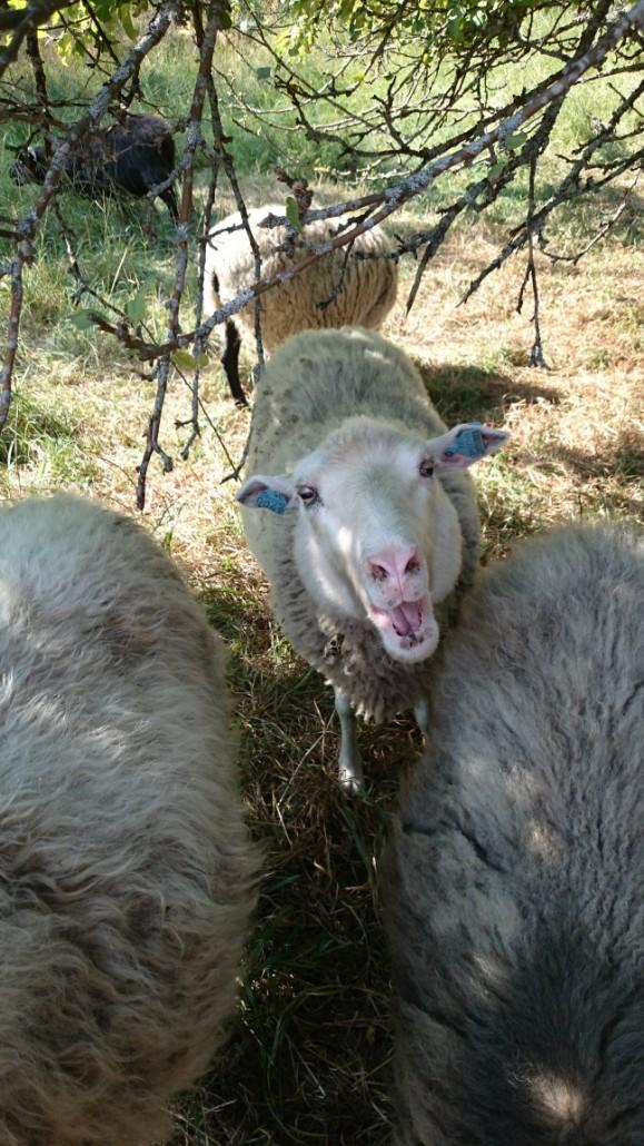Ulkoilmamuseossa on mm. lampaita