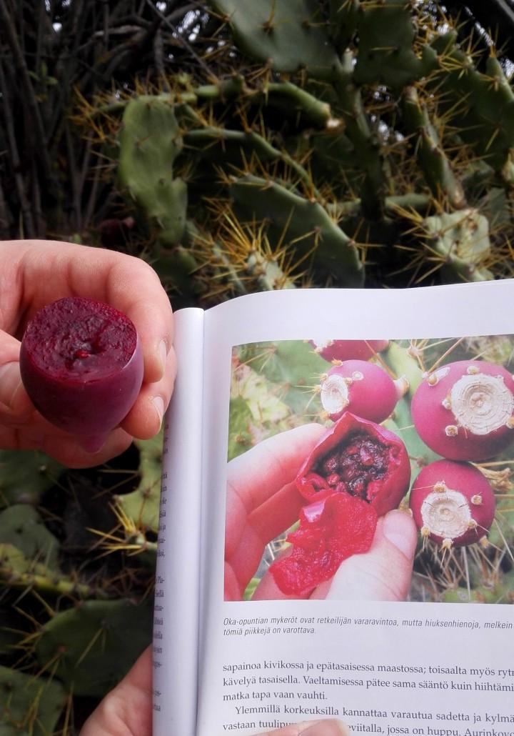 Kasvibongarit löysi paljon erikoisuukisa kraaterin ympäriltä. Nämä oka-opuntian hedelmät löytyivät myös vaellusoppaasta, ja osoittautuivat syötäviksi. Sisältö sisältää paljon siemeniä ja maistuu makeahkolta. Varo piikkejä!