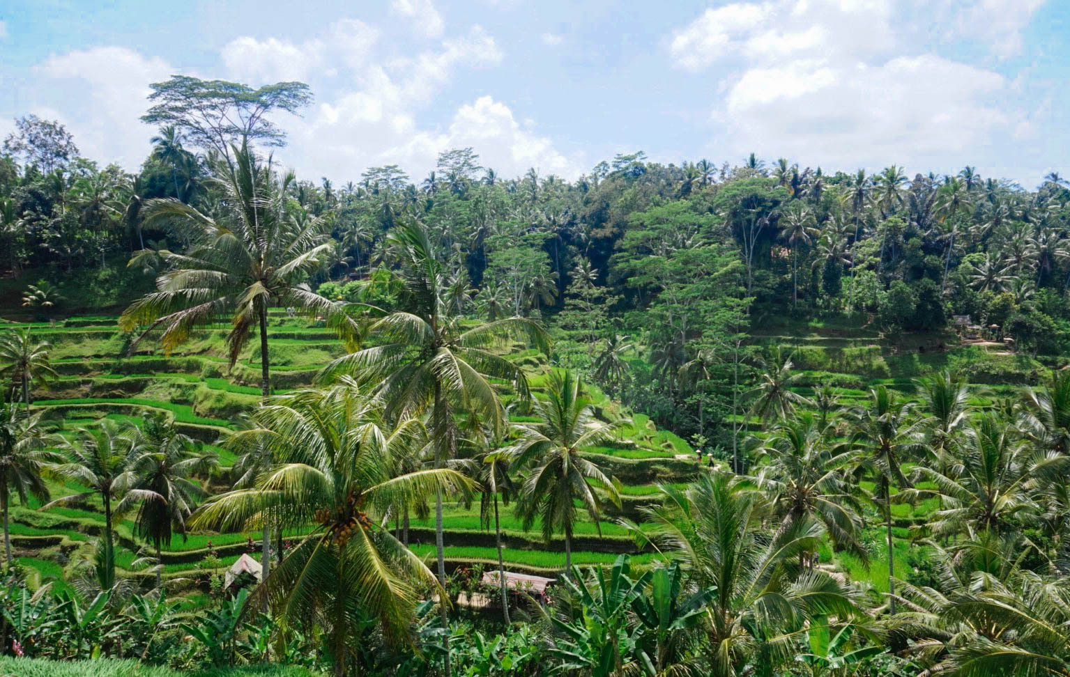 ubud tegallangan riceterrace rice fields