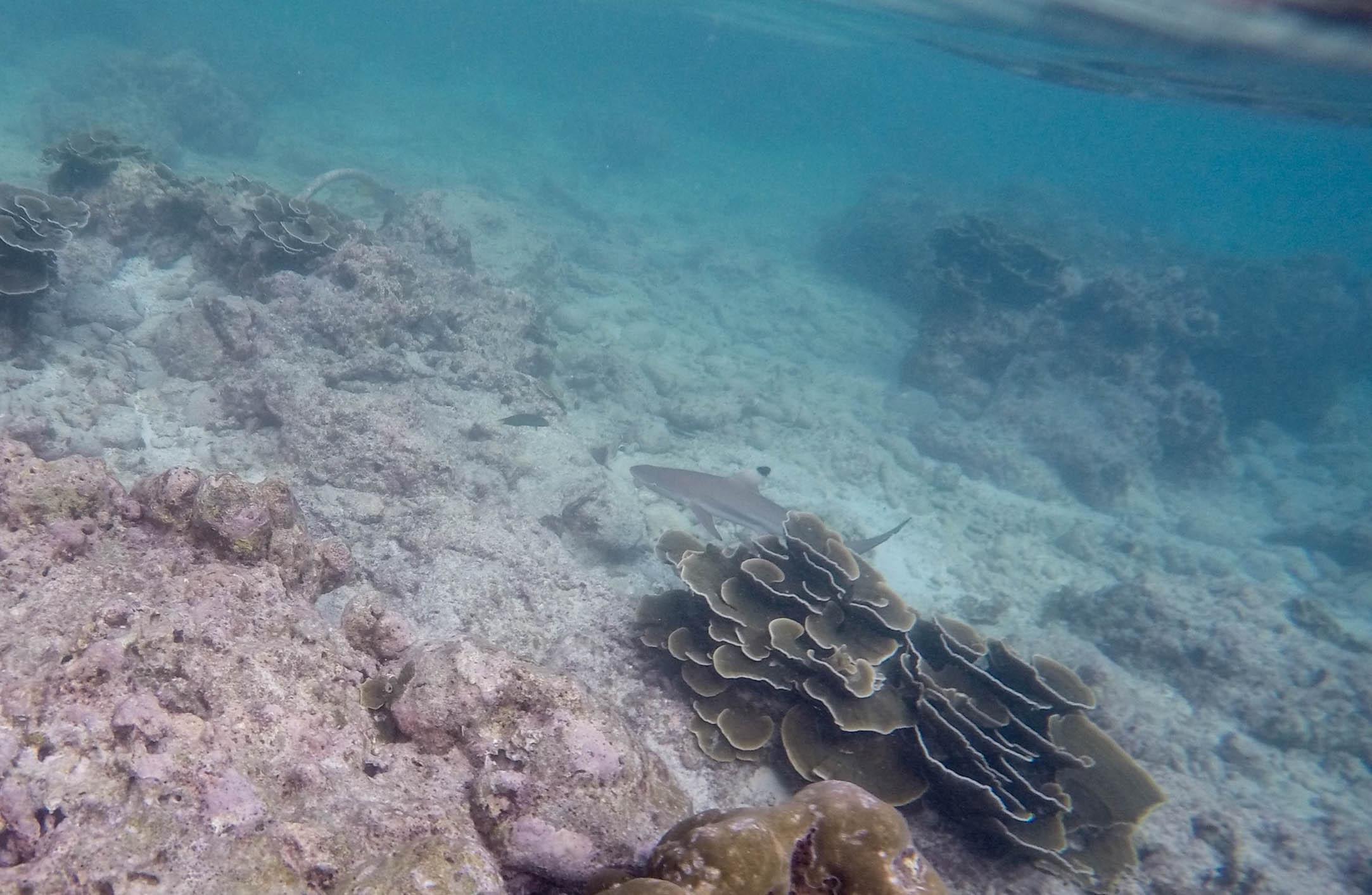 blacktip reefshark shark thailand gopro