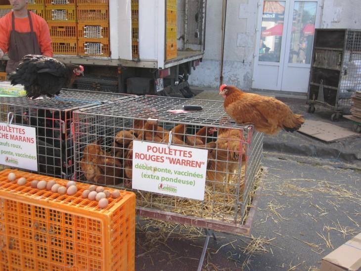 Kauhistuksen kanahäkki - The Chicken Cage of Terror