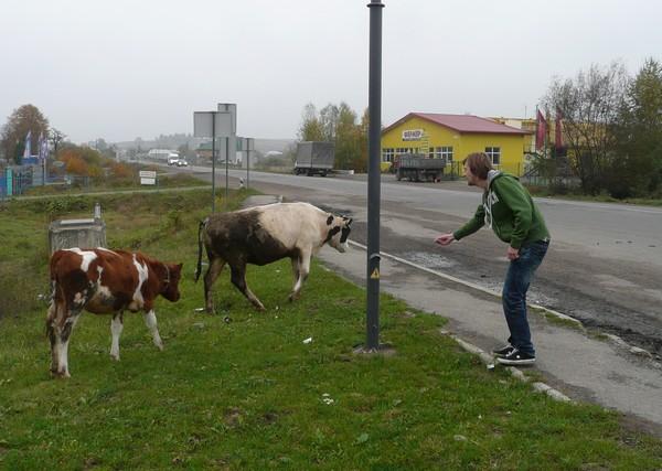 15-poke-ja-lehmat