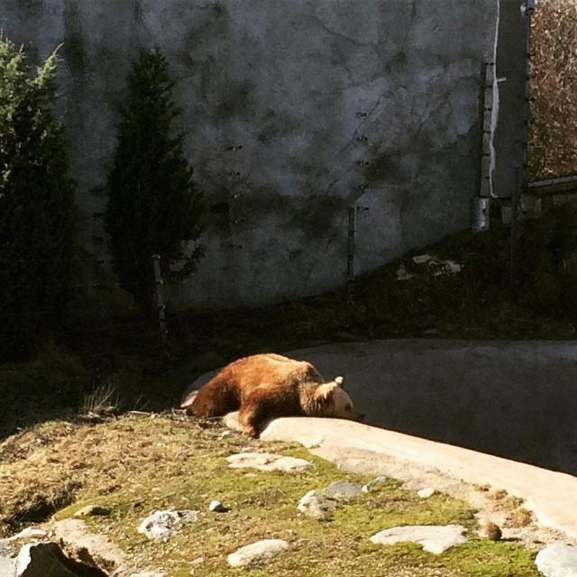 Bear at Korkeasaari