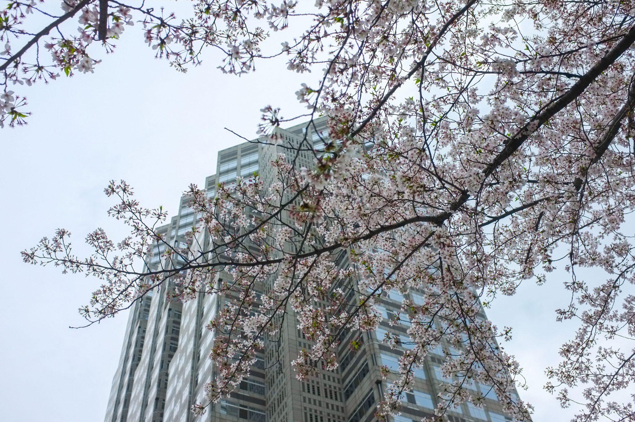 Kirsikankukkia ja pilvenpiirtäjä