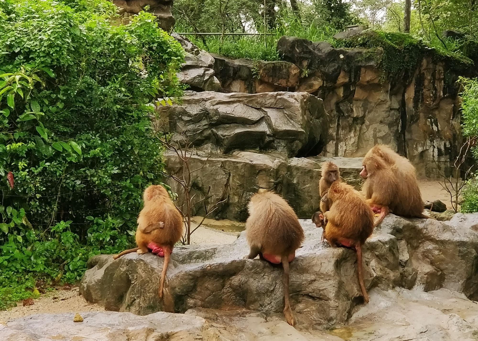 Neljä paviaania istuu kivellä