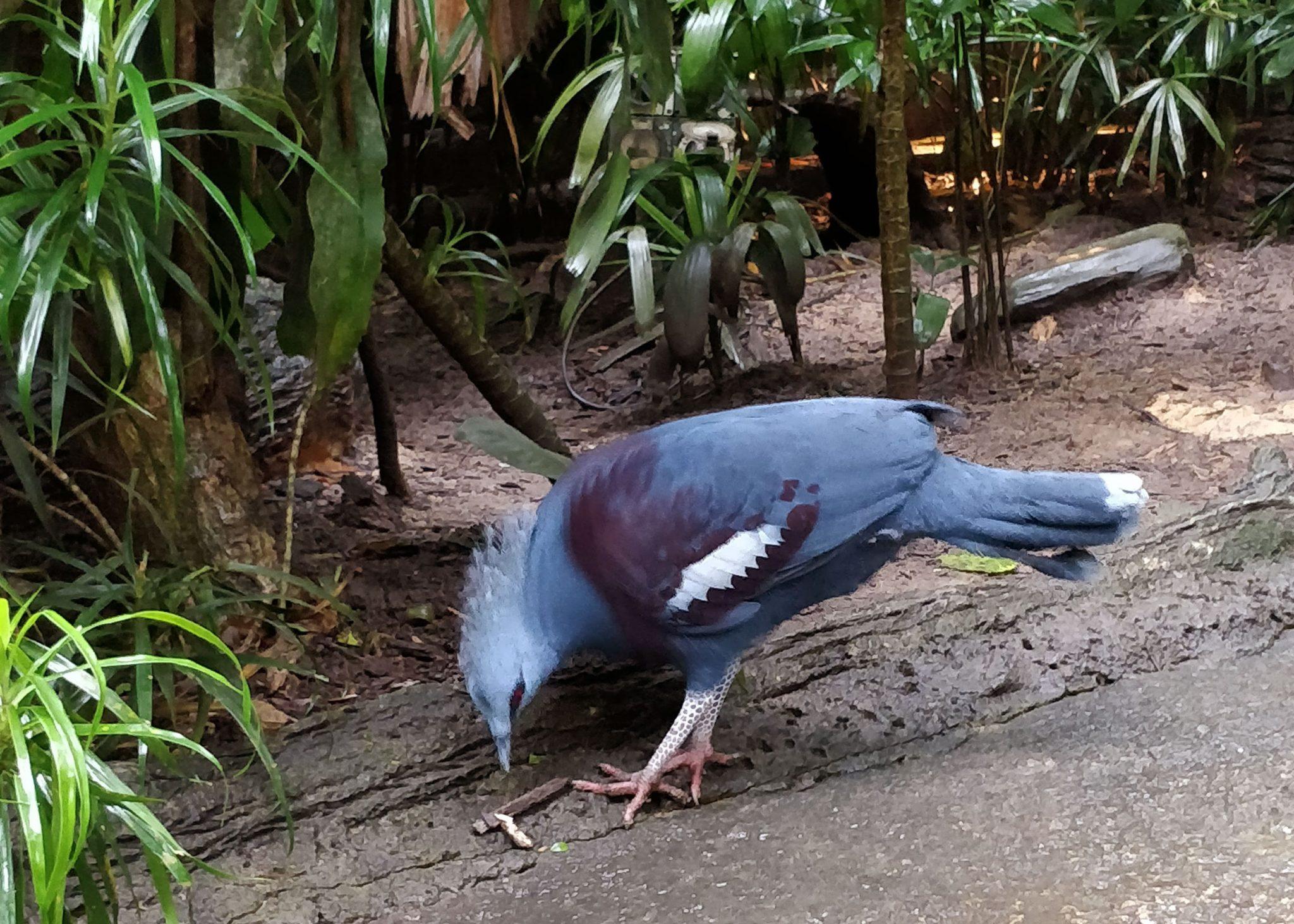 Sininen lintu nokkii maata