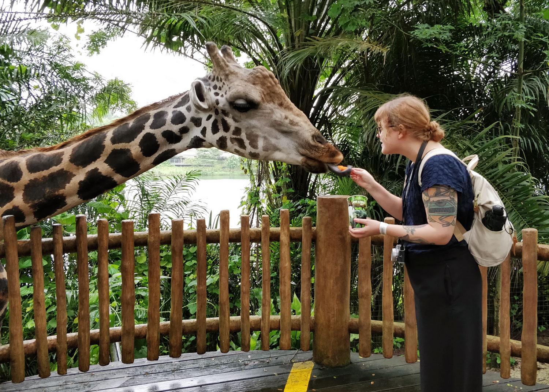 Tyttö syöttää kirahville porkkanaa