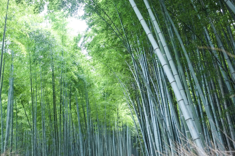 arashiyaman bambumetsän vihreitä bambupuita