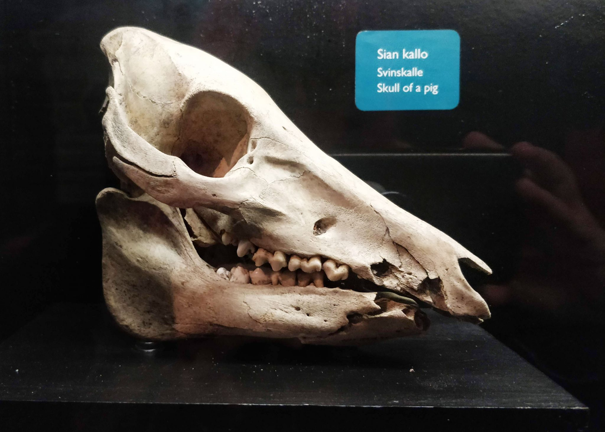 aboa vetuksen luutarha-näyttelyssä esillä oleva sian kallo