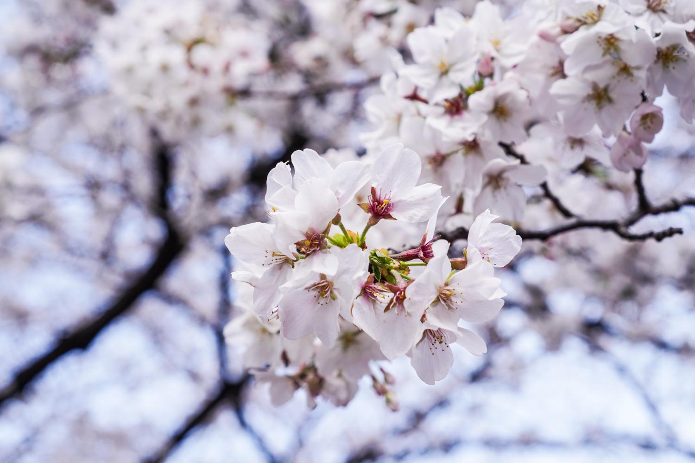 kirsikankukan oksa lähikuvassa
