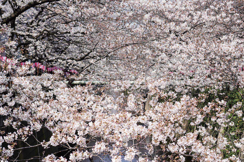 kirsikankukat peittävät maiseman
