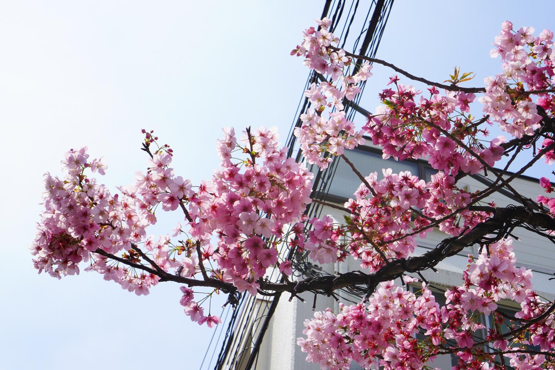 vaaleanpunainen kirsikkapuun oksa
