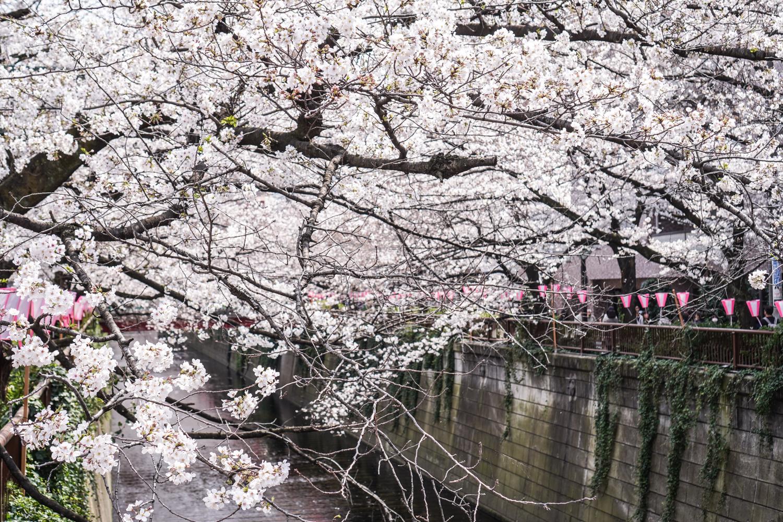 meguro-joen kirsikankukat