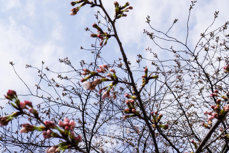 kirsikankukkia nupussa