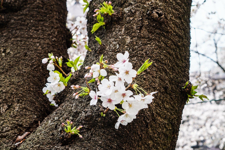 kirsikankukkia kasvamassa puun rungosta