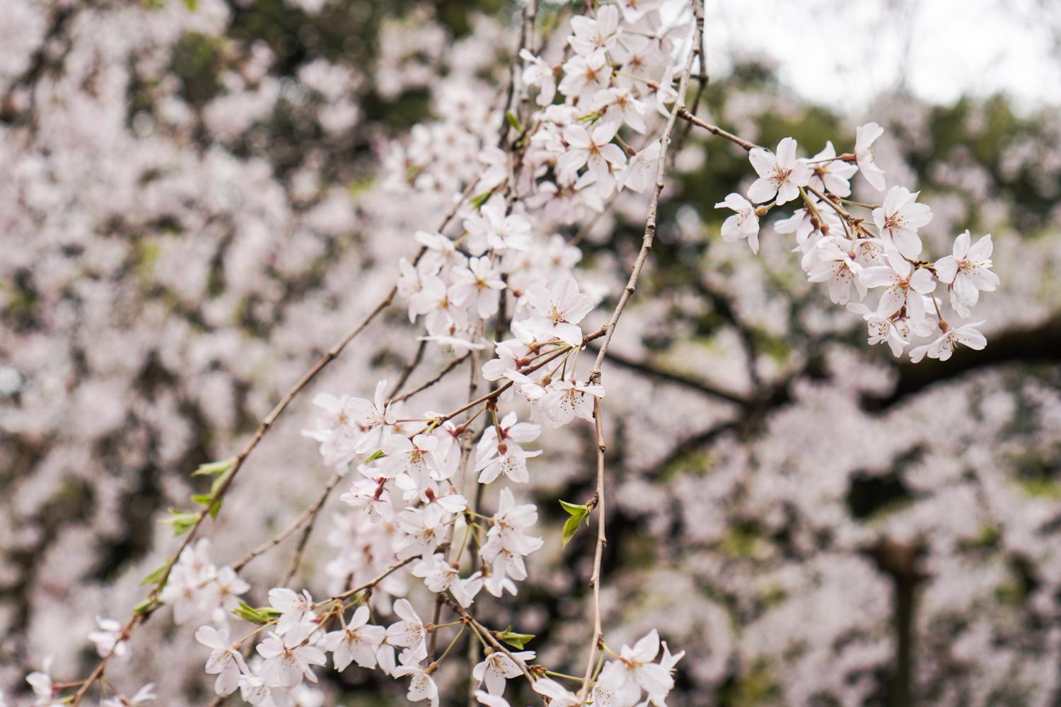 kirsikkapuita rikugi-enissä