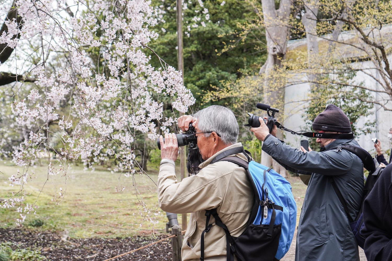 japanilaisia setiä kuvaamassa kirsikkapuuta