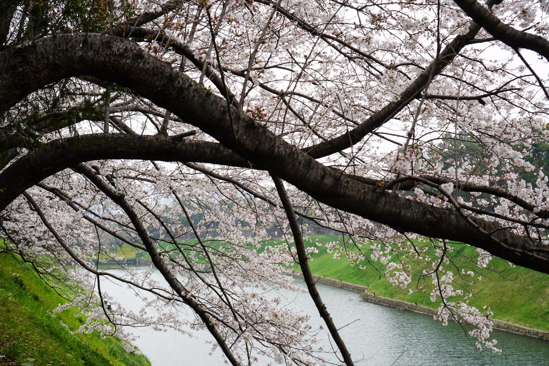 sakuraa japanissa 2019