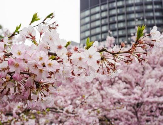 kirsikankukat tokiossa
