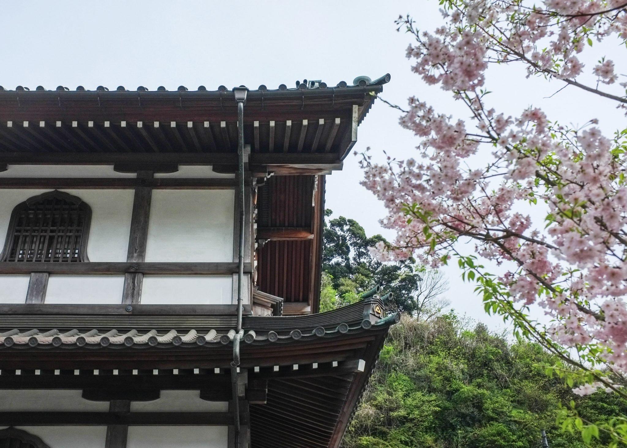 temppelirakennus kamakurassa ja kirsikankukan oksia