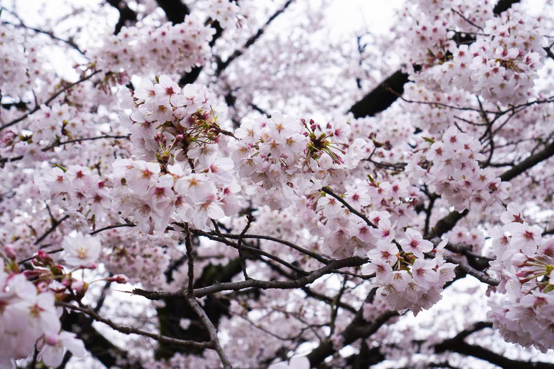 sakura tokiossa, kukan oksia