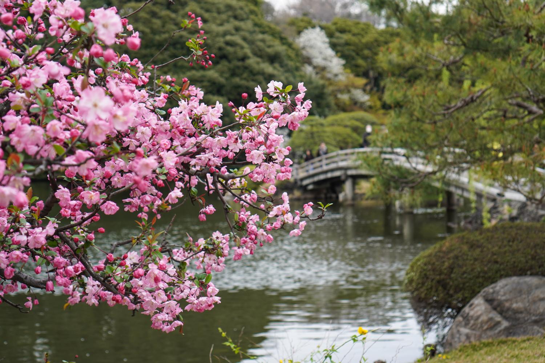 shinjuku gyoen ja kirsikkapuu