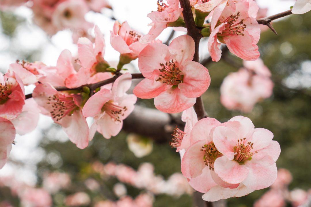 Shinjuku Gyoen-puiston kirsikankukkia Tokiossa keväällä 2019