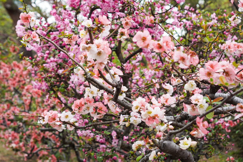 shinjuku gyoen monivärinen kirsikkapuu