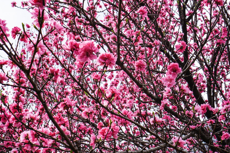 sakura hamarikyun puutarhassa