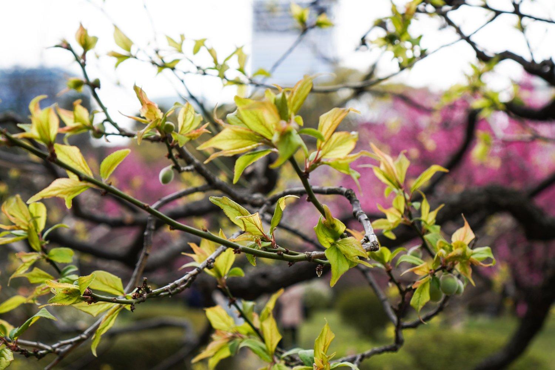 hamarikyun puutarhan lehtiä