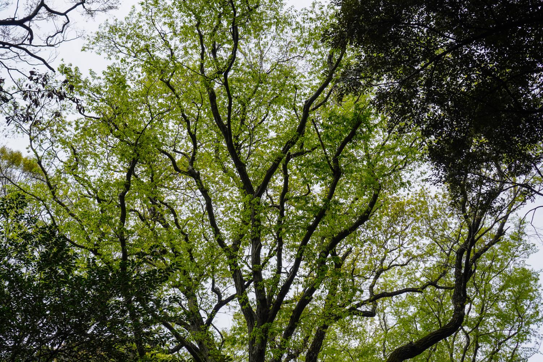 Meiji Jingun metsän puita