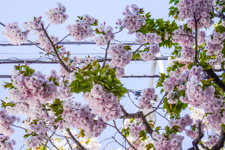 upea sakura Tokiossa - ichiyo yaezakura-laji täydessä kukassa