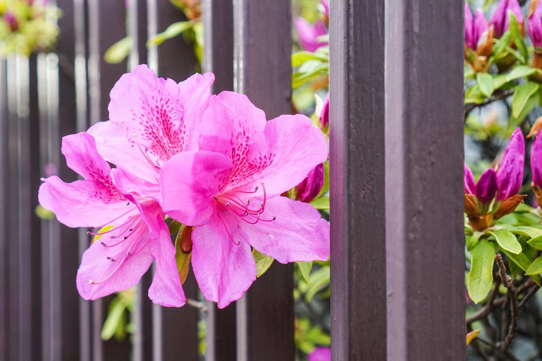 pinkki kukka tulee kalteriaidan läpi