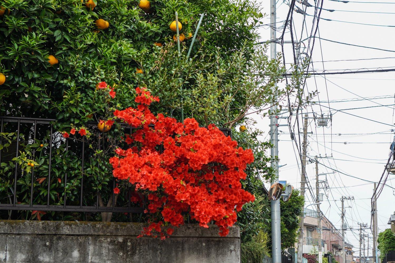 punaisia kukkia ja appelsiinipuu