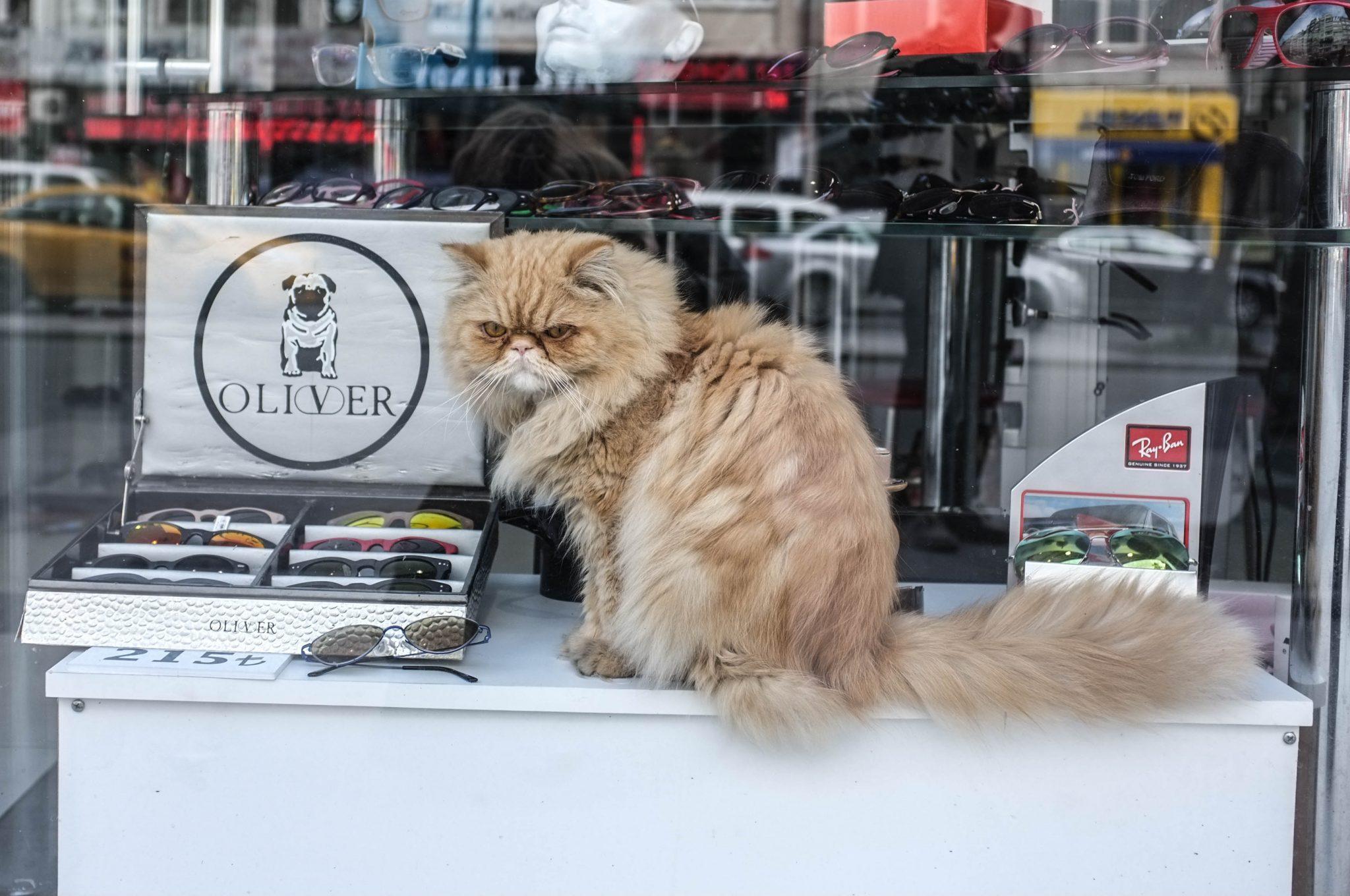 kissa viettää aikaa kaupan näyteikkunassa