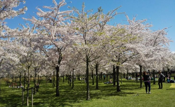 Hollanti, Alankomaat, kirsikankukat, kevät