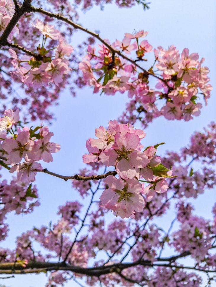 Kirsikkapuiden aikaan